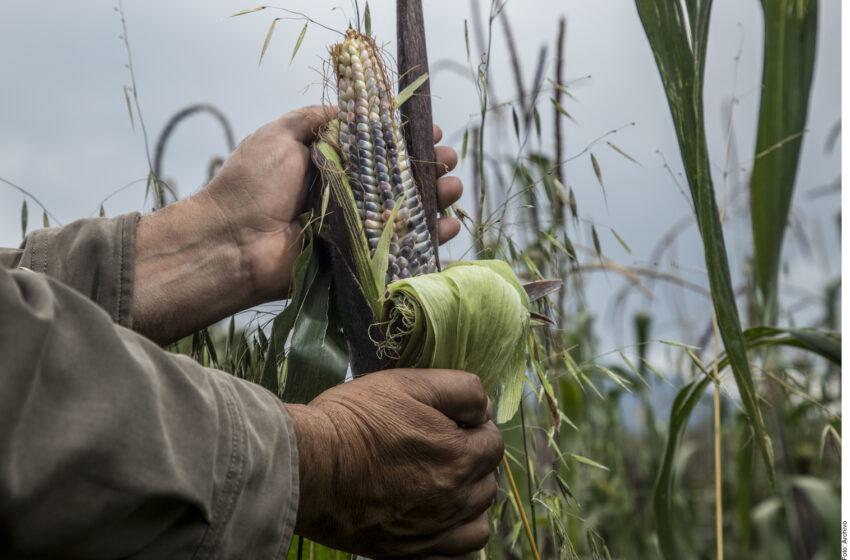 La milpa, un tesoro agrícola – Criterio Hidalgo