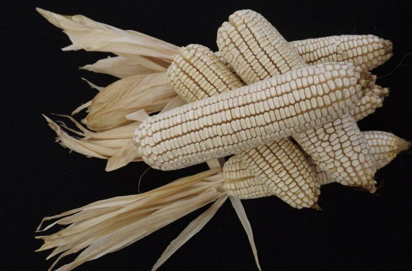 Impulsa Sedagro producción de maíz en Morelos | Central de Noticias Mx