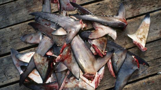 Colombia incauta 3 mil 400 aletas de tiburón que irían a China – Bajo Palabra