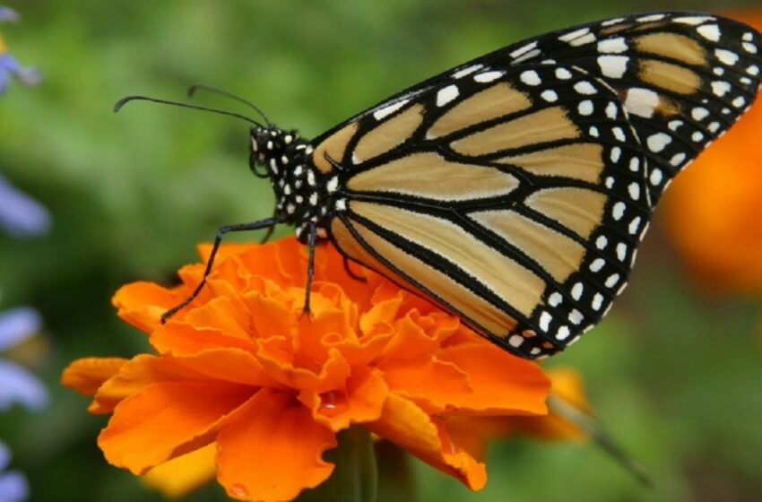 Mariposas de otoño   Noticias de Sonora   EL IMPARCIAL