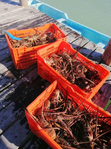 Baja pesca de langosta, pero a buen precio en QRoo – La Jornada Maya